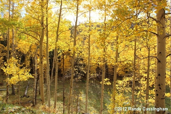 Pure Colorado gold. The trees are 'Quaking aspens', if you didn't already know that.