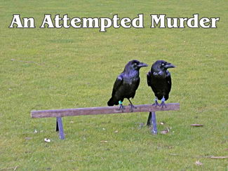 Two crows: attempted murder?