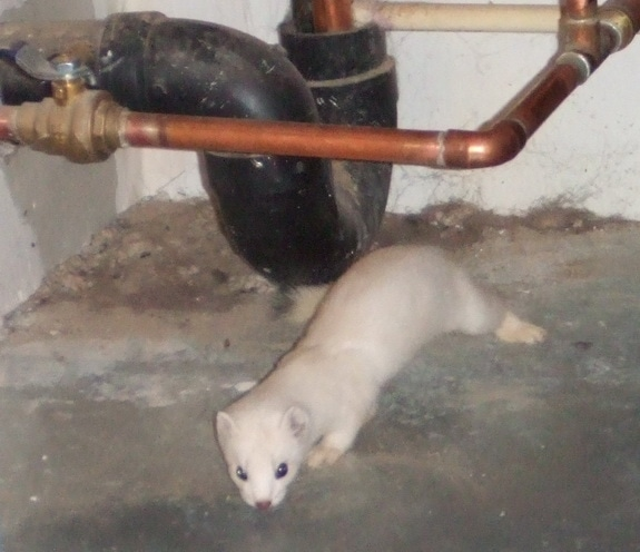 An ermine in the garage.