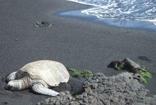 Sea turtle basking at the black sand beach