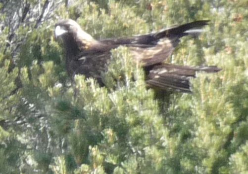 ridgway eagle1 - Out My Window: a Golden Eagle