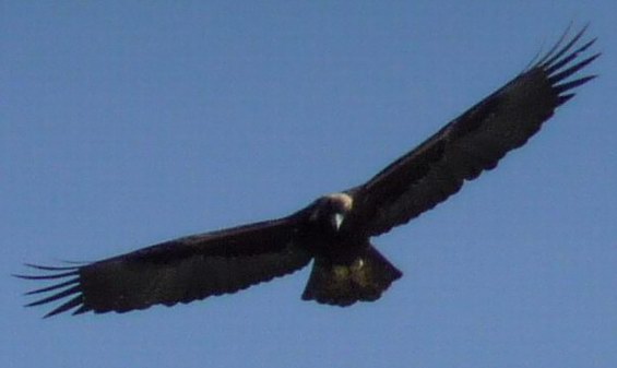 ridgway eagle2 - Out My Window: a Golden Eagle