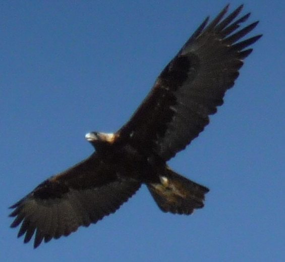 ridgway eagle3 - Out My Window: a Golden Eagle